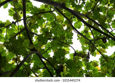 Low angle of tree leaves with backlight from sunlight.
