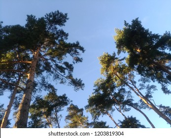 Low angle, trees billowing up on a blue sky background, wide angle, aerial perspective