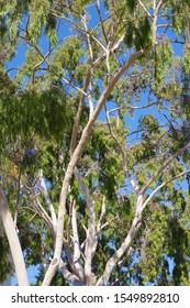 Low angle upward view into the canopy of a tall eucalyptus tree under bright blue sky close to the California coast