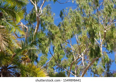 Low angle upward view into the canopies of tall eucalyptus trees and a palm tree under bright blue sky