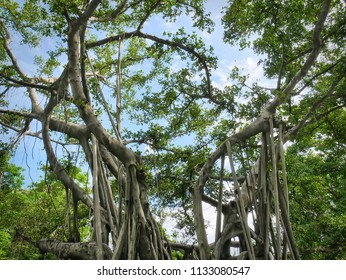 Low Angle View of Banyan Tree Against Blue Sky