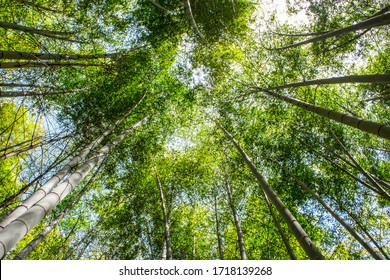 Low angle view of beautiful bamboo trees in bamboo grove forest in sunny day in Nankan, Tamana, Kumamoto, Japan.