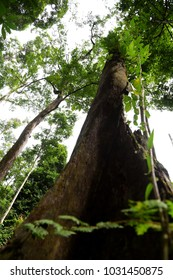 Low angle view of big tree in the jungle of Malaysia.