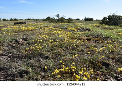 Low angle view with blossom yellow flowers at The Great Plain Alvar landscape on the swedish island Oland
