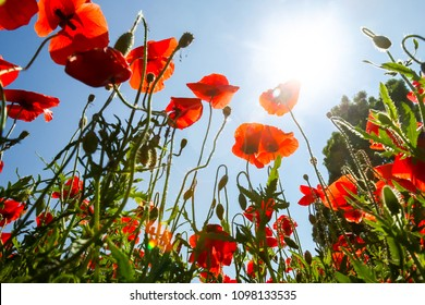 A low angle view of a blossoming poppy field in spring.