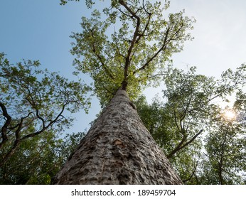 Low angle view of Bombax ceiba tree with warm sunlight and blue sky