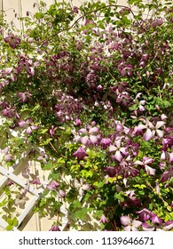 Low angle view of climbing clematis in beautiful light purple colors.