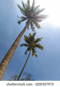 Low angle view of coconut trees with blue sky background.