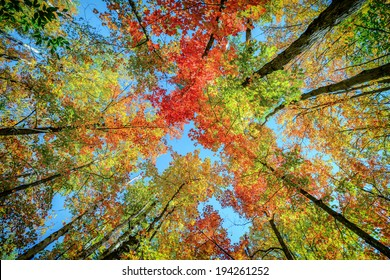 A low angle view of colorful autumn leaves on trees in a forest.