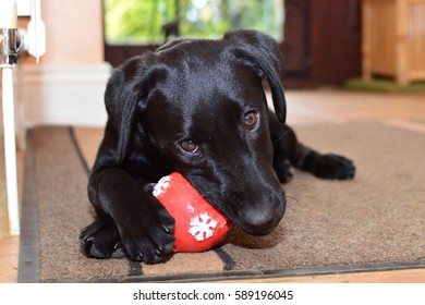 low angle view of a cute black labrador puppy playing with a red ball