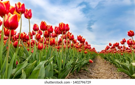 Low angle view in a dutch field of beautiful colorful tulips.
