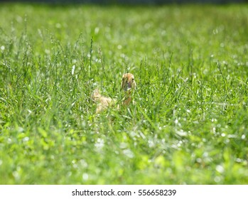 Low angle view of fledgling baby duck hidden in green grass at sunny day