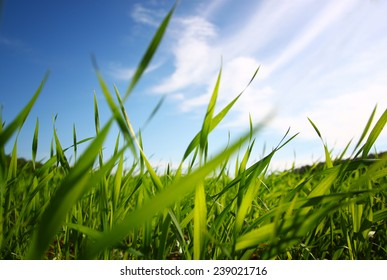 low angle view  of fresh grass against blue sky with clouds. freedom and renewal concept