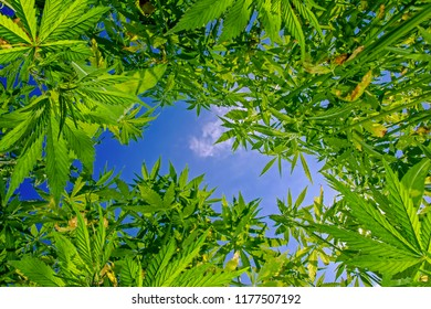 Low angle view of green cannabis field against blue sky and white clouds. Green marijuana (hemp) growing. Symbol of legalization of marijuana