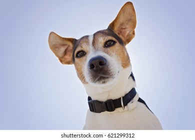 Low angle view of jack Russell terrier dog on the blue sky background, close up, looking at camera back light