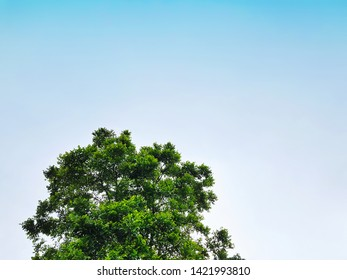 Low Angle View of Large Tree Top Against Clear Blue Sky