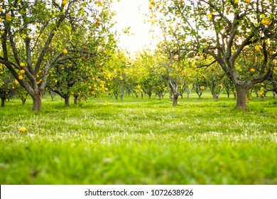 Low angle view of a lemon tree orchard at sunset