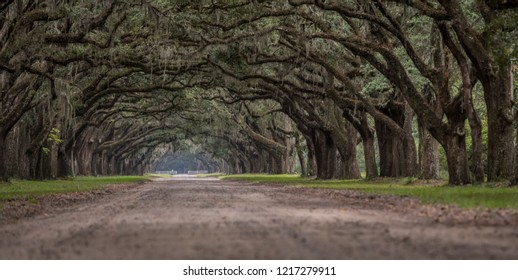 Low Angle View of Live Oak Trees with Spanish Moss