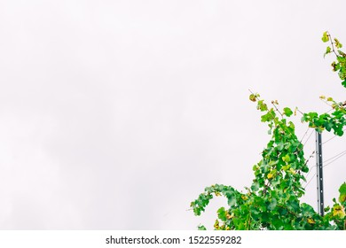 Low angle view of lush green leafy autumn grape vines in a German winery vineyard with fence post, wire, and cloudy sky. Off center as corner border of frame with copy space.