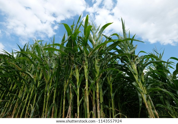Low angle view of maize field with cloudy blue sky