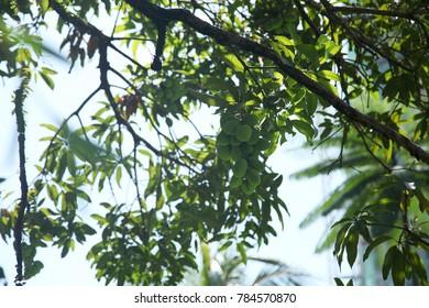 low angle view of mango tree