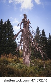 Low angle view on a spooky dead tree in a forest