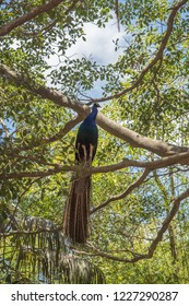 Low angle view of perched male peacock in leafy tree under a blue sky with clouds in Sydney, Australia