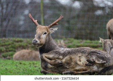 Low angle view of a Pere David's deer (elaphurus davidianus) lying on the ground