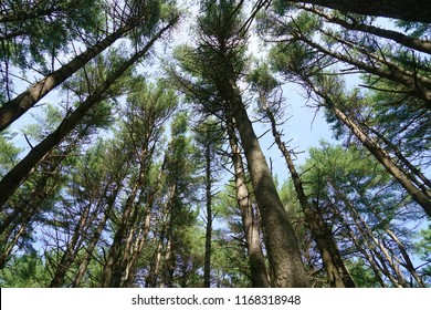 low angle view of the pine tree forest