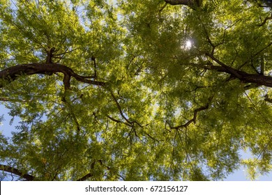 Rosewood Plant Images Stock Photos Vectors Shutterstock