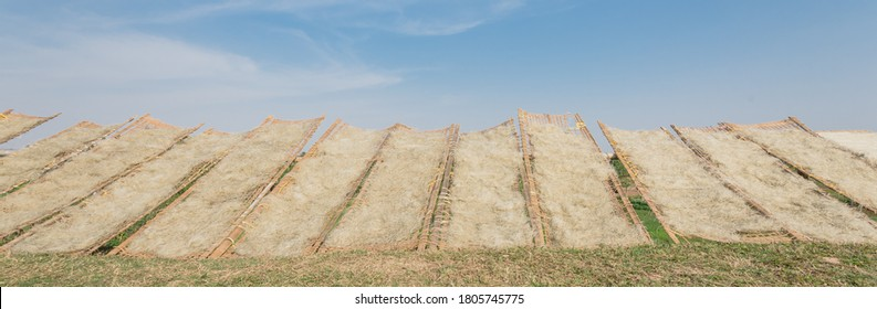 Low angle view row of bamboo fences full of Vietnamese rice vermicelli drying in the sunlight outside of Hanoi, Vietnam. Special organic noodles are being dried naturally under sunny sky