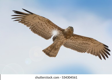 Low angle view of Short-toed snake eagle   flying with full wings span in blue sky with sun ray through the wing.Bird of prey in flight,closeup .