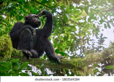 Low angle view of a solitary wild male chimpanzee (Pan troglodytes) sitting on a tree branch in its natural forest habitat in Uganda.
