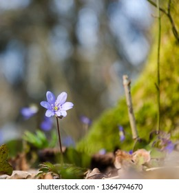 Low angle view of spring season sunshine on a blossom blue anemone in a forest