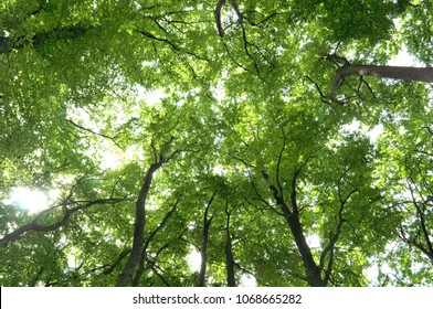 Low angle view of tree canopy of an old beech forest in Germany in the summertime