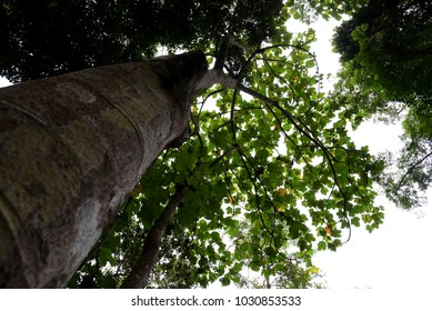 Low angle view of tree in rainforest of Malaysia. (Selective focusing)