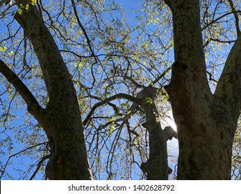 Low angle view of tree in silhouette against bright clear blue sky in Lisbon Botanical Gardens, Portugal