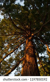 Low angle view at tree trunk of old conifer