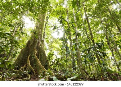 Low angle view of tropical rainforest with a large buttressed root tree, Ecuador