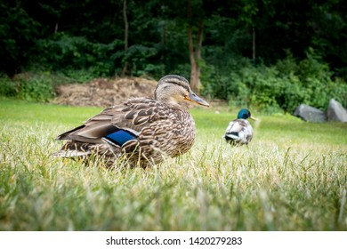 Low angle view of two mallard duck birds in the grass with forest in the background.