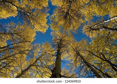 Low angle view of vibrant Aspen Trees in Colorado.
