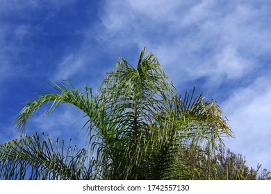 Low angle view of a vivid blue sky over a a palm tree in springtime