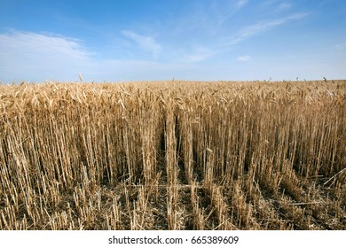 Low angle view of a wheat crop with blue sky in background