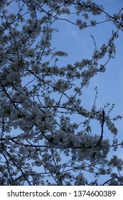 Low angle view of white tree blossom against blue sky