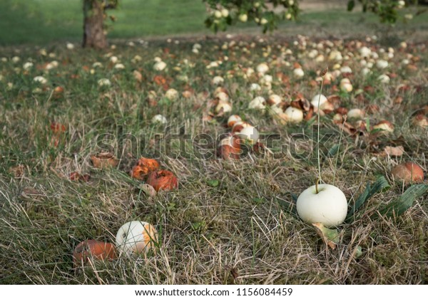 low angle view of windfall apples on a grassland