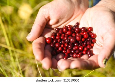 Low bush cranberries or lingonberries, held in hands.