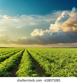 low clouds in sunset over green agricultural field with tomatoes