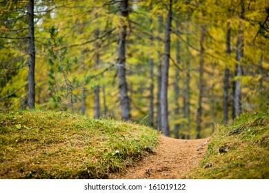 Low depth of field view of a footpath with colored larch forest in the background