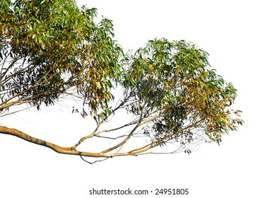 low hanging eucalyptus branches isolated on white background
