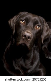 Low key image of a Chocolate Lab on a black background.
